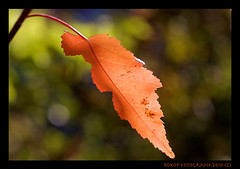 autumn leaf (rokop64) Tags: autumn sun canon leaf herbst tokina blatt sonne rokop eos400d