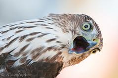 Cape May - Bird Banding (Nikographer [Jon]) Tags: male bird fall birds newjersey october oct nj cm capemay migration 2010 banding coopershawk banded themeadows d300s 20101009d300s56201 cmnj