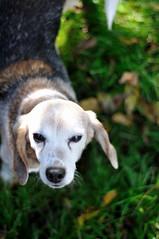 beagle in the grass (rachelstander) Tags: dog beagle 50mm franklin nikon50mmf18d