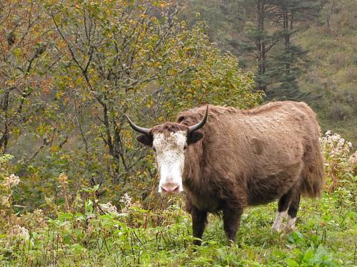 two-tone yak