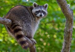 Big Bandit! (Lens Widow Lee) Tags: nature animals wildlife mammals raccoons hamptonroads newportnews tidewater valivingmuseum