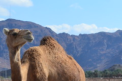 - camel (Qasem aljuhani) Tags: