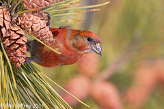 Red Crossbill (phil.jeffrey) Tags: bird nature wildlife nj finch avian longbranch sevenpresidentspark redcrossbill loxiacurvirostra wwwcatharuscom