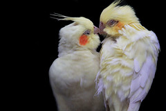 A love birds' kiss (jinterwas) Tags: white bird netherlands closeup kiss kissing zoen sweet ngc stock beak nederland vogels free cc creativecommons cockatiel cockatoo wit inlove vogel lief oiseaux bek avifauna kus onblack parkiet kussen vogelpark nymphicushollandicus kaketoe zoenen coth snavel supershot freetouse quarrion zwarteachtergrond weiro alittlebeauty coth5 5wonderwall