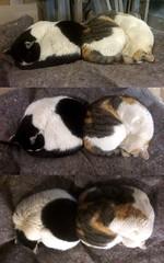 In due ci si scalda meglio ! (francisuao) Tags: cats cat gatto gatti rosetta gatta lampone