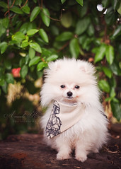 Koda's new bandana ({amanda too}) Tags: cute puppy pom cream adorable fluffy bobafett bandana pomeranian puffball 50mm18 amandakeeys