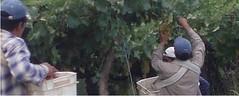 Acuerdo entre cosecheros de uvas y bodegueros en Cafayate