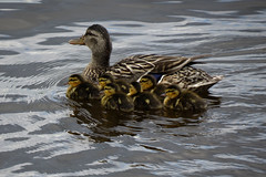 Six ducklings clinging close to mom on the Ottawa River in Ottawa, Ontario (Ullysses) Tags: duck canard ducklings ottawariver ottawa ontario canada summer été rivièredesoutaouais