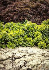 Textures of nature (axsnyder) Tags: garden rock landscape virginia japanesemaple virginiabeach