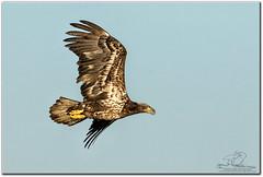 Juvenile Bald Eagle (mlibbe) Tags: apokawildlifedrive haliaeetusleucocephalus apopka baldeagle birdinflight birds flight florida nature orangecounty raptor wildlife wwwmichaellibbephotographycom