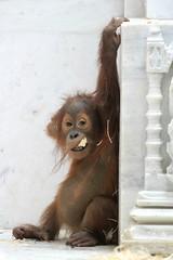 Berani, bébé orang-outan (olivier.ghettem) Tags: pairidaiza belgique belgium animal asie asia berani singe primate bébéanimal bébé ape orangoutan