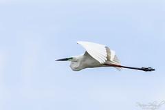 Great Egret in Flight (PB2_1831) (Param-Roving-Photog) Tags: great egret common white heron green eyes flying flight bird water lake wildlife wetland ropar ramsar punjab wildlifephotography indianwildlife birding nikon tamron