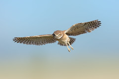 Burrowing Owlet Hovering (just4memike) Tags: bird wildlife blurredbackground burrowing eye feather flight grass owl raptor wing canon 500 isiiusm 5ds ef f40 l is ii