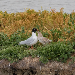 Mediterranean Gull and Chick (DP the snapper) Tags: chick uptonwarren birds mediterraneangull worcestershirewildlife trust