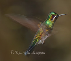 Humming Bird (Ken Meegan) Tags: bird costarica hummingbird monteverde cloudforest monteverdecloudforest 12102008