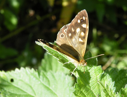 speckled wood partially open wing