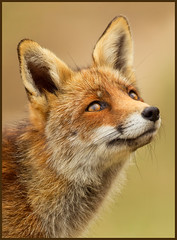Ever I saw your face.. (hvhe1) Tags: portrait orange holland nature netherlands face animal eyes bravo gesicht searchthebest expression wildlife fox portret awd fuchs vos gezicht renard interestingness3 amsterdamsewaterleidingduinen specanimal thefirsttimeeverisawyourface hvhe1 hennievanheerden dierenportret