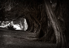 Old Trees ({JO}) Tags: old trees monochrome dark grand foliage tasmania trunks avenue toned tinted portarthur