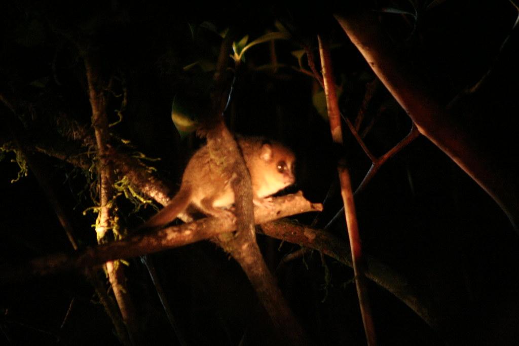 Brown Mouse Lemur (Microcebus rufus / Rode muislemur) - Ranomafana NP, Madagascar