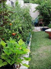 Wall of tomato plants