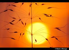 Straw & sun (bnilesh) Tags: sunset orange india abstract golden straw indore
