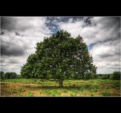 The Hothfield Oak