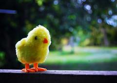 DSC_5299 (mohdhanafiah) Tags: animal dof bokeh kitlens chick malaysia terengganu binatang kualaterengganu d40 haiwan nikond40 manir anakayam afsdxnikkor1855mmf35f56gii