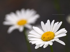 twice as nice (ktelqueen) Tags: flowers white nature closeup daisies garden novascotia dof olympus isy zd 300mm28 ktelqueen e520