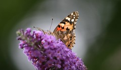 Painted Lady (Katie Fuller @bogbumper) Tags: butterfly buddleia paintedlady migrant thelodge cynthiacardui