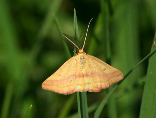 Chickweed Geometer Moth 20100830