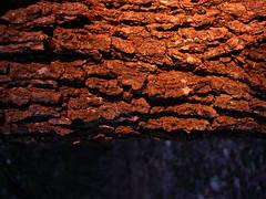 Bark: Tree Skin (Jason A. Samfield) Tags: trees orange sunlight tree backlight sunrise morninglight perspective earlymorning symmetry treetrunk bark trunk symmetrical treebark backlit trunks sunlit orangelight asymmetry sunbeam asymmetrical backlighting treetrunks earlymorninglight