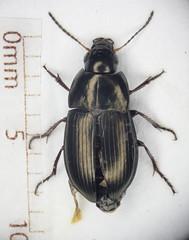 Amara aenea (Chris_Moody) Tags: beetle ground microscope specimen invertebrate photomicroscopy coleoptera carabidae carabid microphoto taxonomy:binomial=amaraaenea amaraaenea