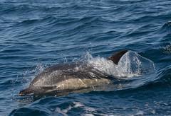 Short Beaked Common Dolphin (Delphinius delphis) 30 Aug-10-18890 (tim stenton www.TimtheWhale.com) Tags: skye mammal scotland dolphin minch delphinus gairloch westerross cetacean commondolphin delphinidae delphis shortbeakedcommondolphin odontocetes delphiniusdelphis hebrideanwhalecruises