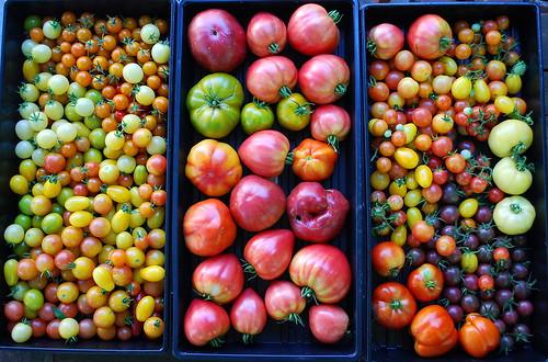 Fall Tomato Harvest