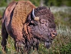 _MG_1898nt (susannekremer) Tags: usa mountains barn landscape farm wildlife berge getty wyoming bison wildwest grandteton grandtetonnationalpark bestphoto