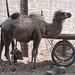 Camel at Yekshenba market