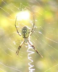 orbweaver spider 5