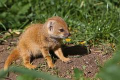 Blijdorp-5557 (Arie van Tilborg) Tags: zoo blijdorp cynictispenicillata mangoest vosmangoest zoogdier arievantilborg