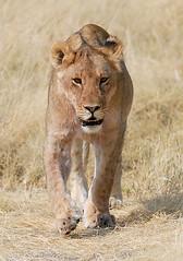 Lioness Stalking 1, Etosha