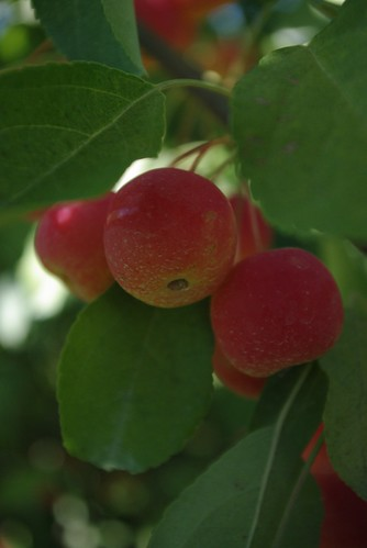 Cherry Apples