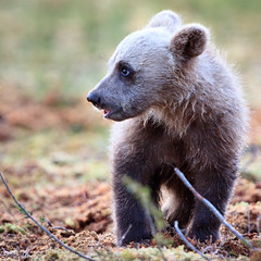 Suomussalmi, Martinselkosen Erkeskus, Karhujen katsonta (40 of 45) (MikkoH77) Tags: wildlife horizontal animal mother usa bear alaska brownbear katmainationalpark exclusive females bearcub cub humaninterest coldtemperature nature outdoors animalhead playful winter day snow wyoming animalmouth colorimage twoanimals nopeople photography mouthopen humor closeup river landscape fun armsraised wake cute oneanimal floatingonwater lookingaway lyingonback relaxation wading fulllength selectivefocus sideview walking animalsinthewild hill denalinationalpark grass animalthemes clearsky gettyimagesfinlandq1