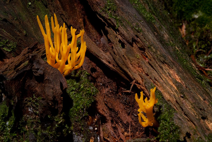 kleverig koraalzwammetje, Calocera viscosa
