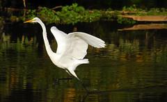 Run (ozoni11) Tags: bird nature birds animal animals nikon wildlife maryland running run d200 egret greategret egrets columbiamaryland greategrets wildelake michaeloberman howardcountymaryland ozoni11