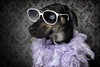 Kayce is not one to be outdone.... (chad.latta) Tags: pink portrait rescue dog chien animal glasses mix glamour nikon chad shepherd feather gap boa perro strobe glamorous latta kayce sb24 d80 strobist sunpak555