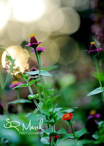 Garden Zenia