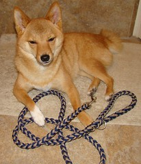taro the shiba thinks you should be on a leash
