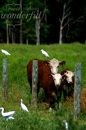 Cow and Cow Birds 2