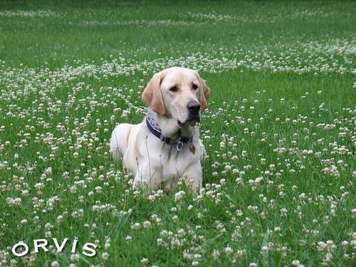 Orvis Cover Dog Contest - Mack