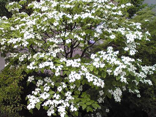 庭の花水木 08.5.4 by Poran111
