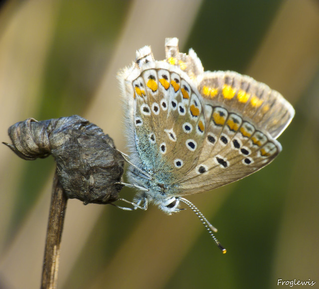 Le Bel-Argus ( Lysandra bellargus ) 4993202405_964b13df82_z